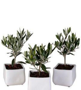 Olivo pre bonsai